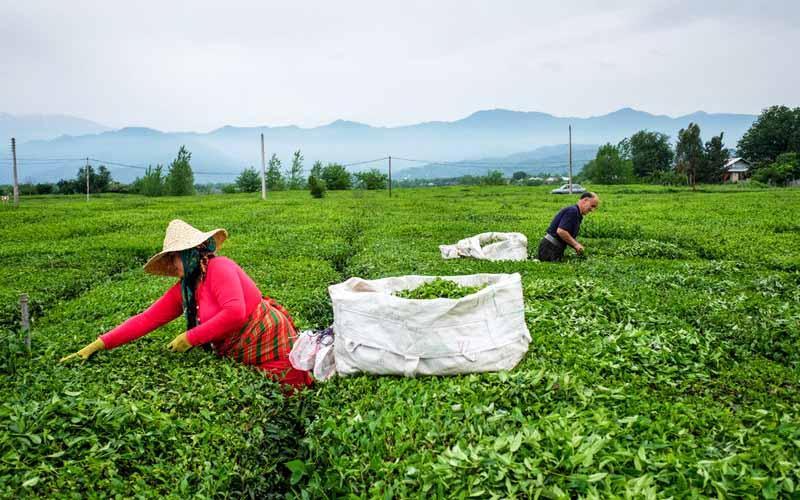 شعار «ایرانی چای ایرانی بنوش» راهکار نجات صنعت چای