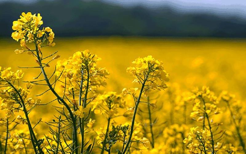 افزایش ۷برابری تولید دانههای روغنی طی سه سال