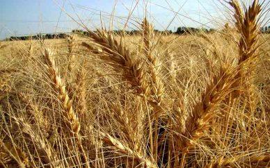 چه زمانهایی برای کشت گندم دیم مناسب است؟