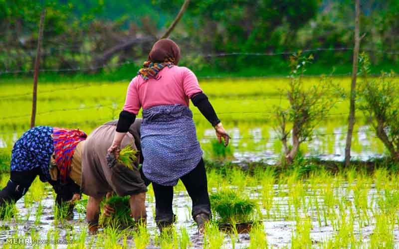 تبدیل شالیزار مرغوب به شهرک گلخانهای توجیه اقتصادی ندارد