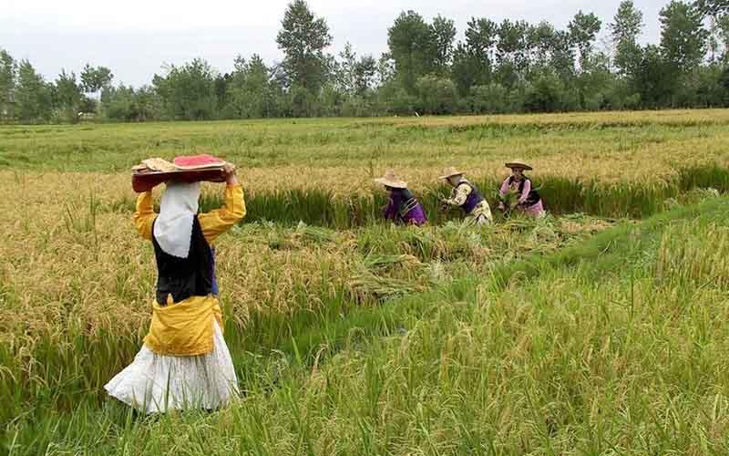 پایان دی آخرین فرصت بیمه محصولات کشاورزی