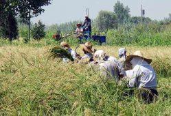 خرید توافقی برنج راهگشای کنترل واردات و نوسان قیمت