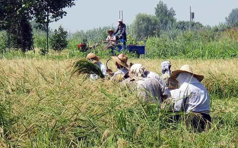 ادامه کشت برنج در استانهای غربی و مرکزی با وجود ممنوعیت