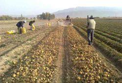 افزایش ۵۳ هزارتنی تولید سیبزمینی در کشور