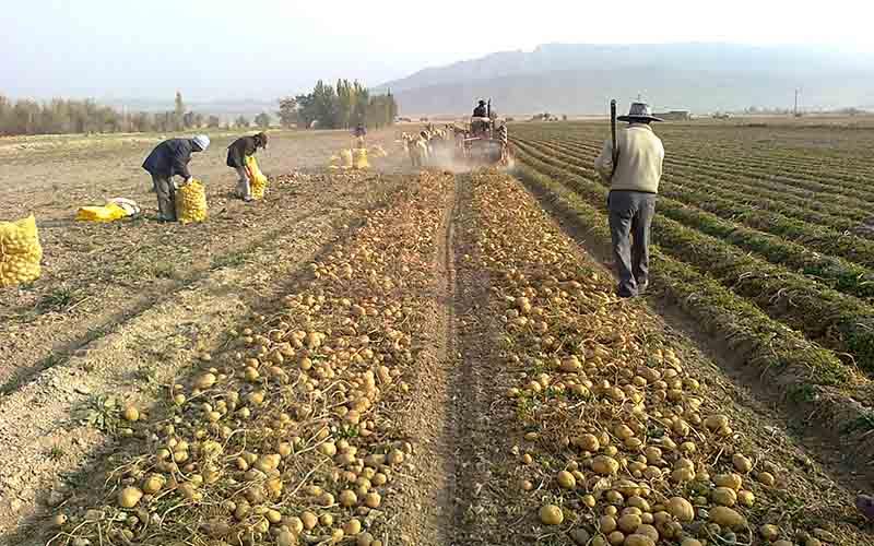 پیشبینی برداشت بیش از ۲۰۰ هزار تن سیبزمینی از مزارع چهارمحالوبختیاری