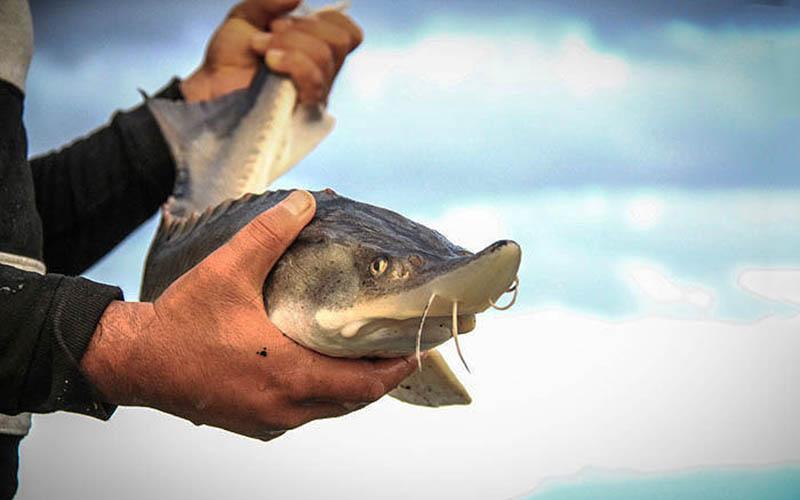 تمدید ممنوعیت صید تجاری ماهیان خاویان در خزر