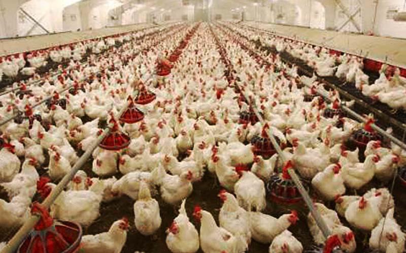 گلایه از برخورد دولت با گرانی جوجه و مرغ