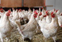 محدودیتی در خرید مرغ مازاد مرغداران وجود ندارد