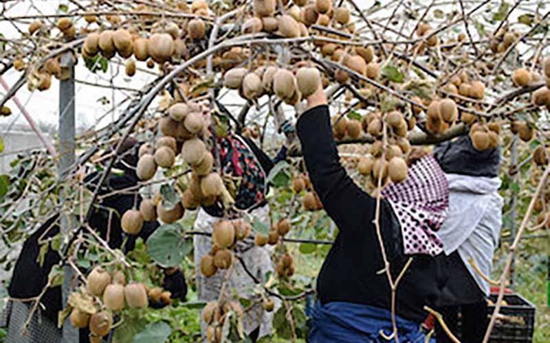 صادرات کیوی از نیمه مهر آزاد میشود