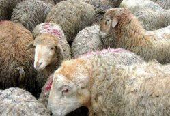 جمعیت گوسفندها در حال نصف شدن است
