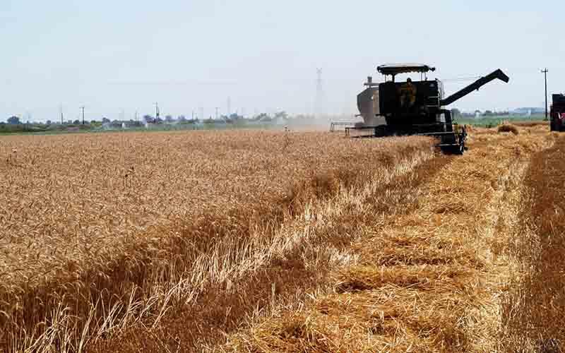 خریداری ۶۰ هزار تن گندم از کشاورزان