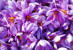بررسی تقلبات زعفران در دستور کار موسسه صنایع غذایی