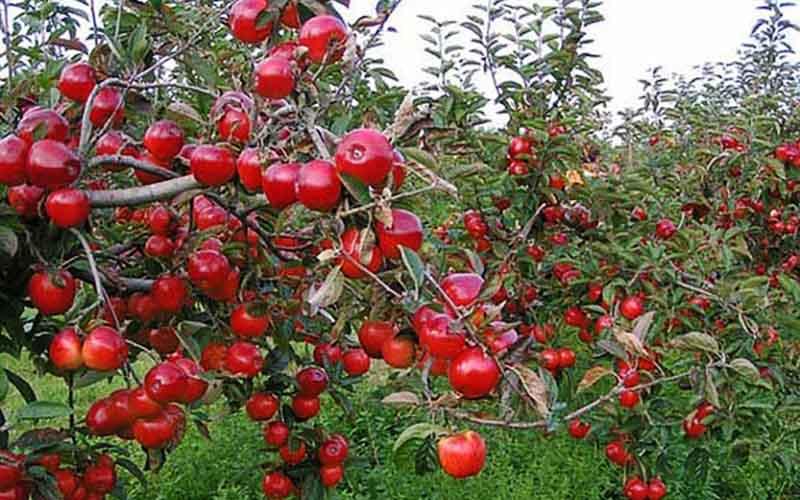 صادرات سیب دماوند از بندر امیرآباد به قزاقستان