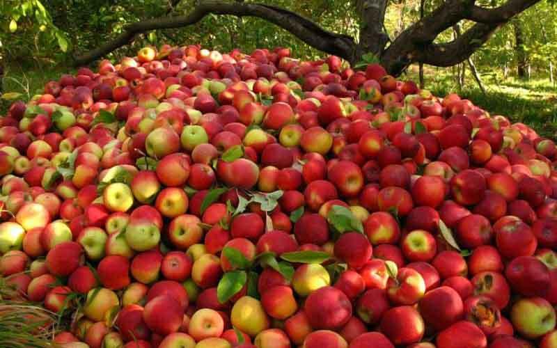 اعلام شرایط واردات موز در قبال صادرات سیب