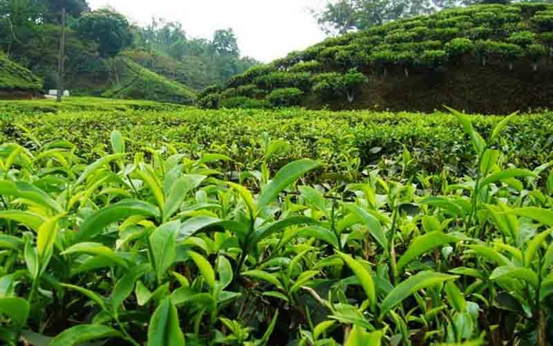 تولید چای ارگانیک در کشور افزایش مییابد