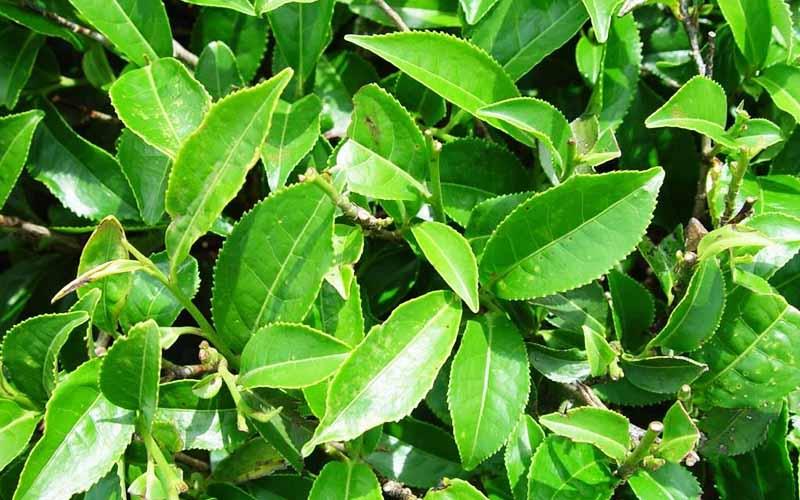 تولید ارگانیک برگ سبز چای در مزارع کشور