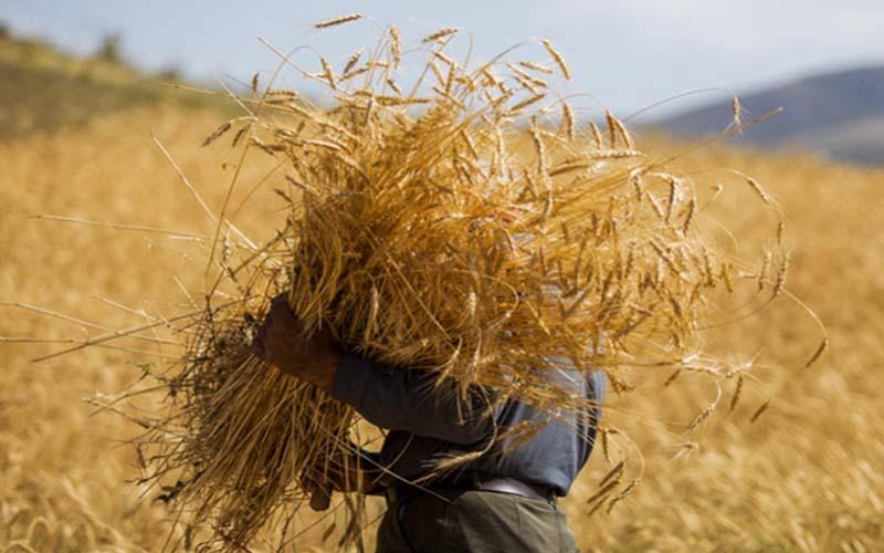 تجدیدنظر در قیمت گندم ضروریست
