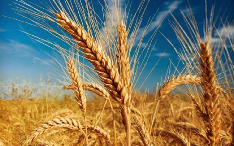 گندم با کیفیتتر از سال آینده ارزش بیشتری خواهد داشت