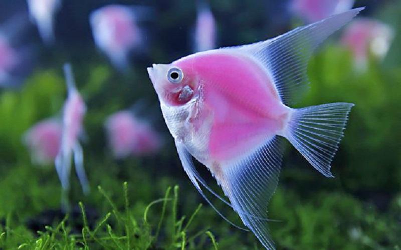افزایش صادرات ماهی زینتی از محلات