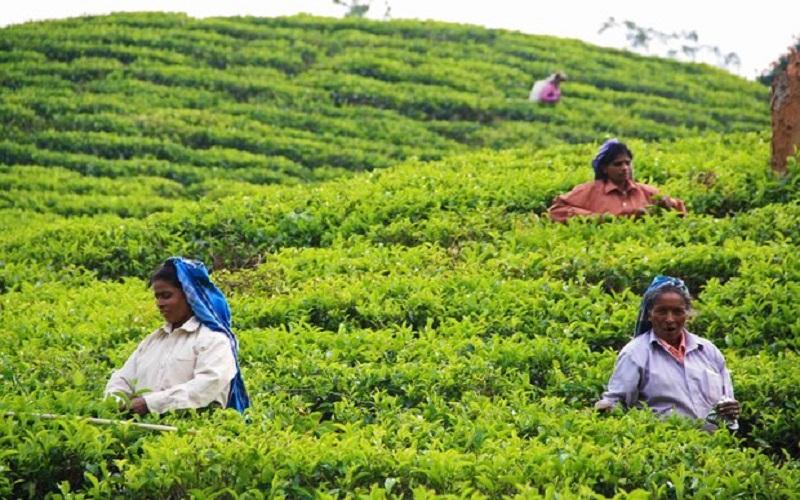 روسیه ممنوعیت واردات چای سریلانکا را برمیدارد