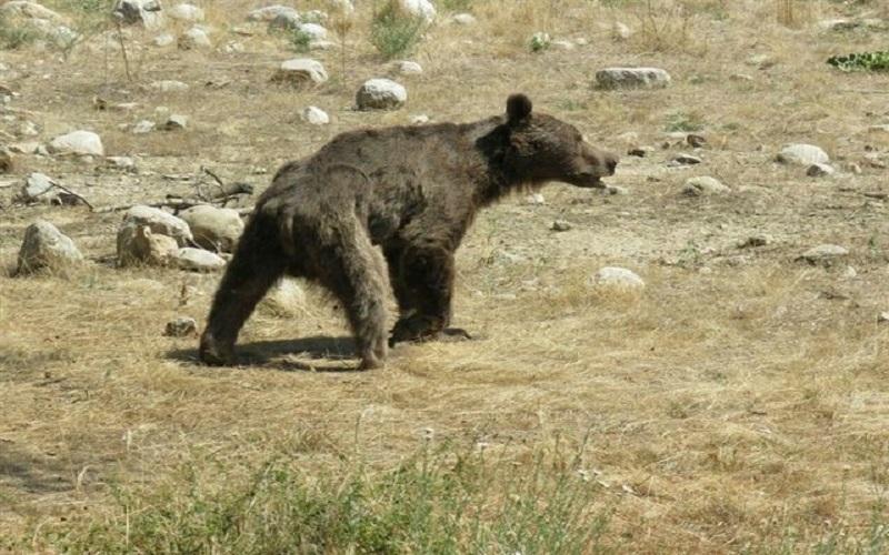 محیط زیست خبر کشف گوشت خرس در تهران را تکذیب کرد