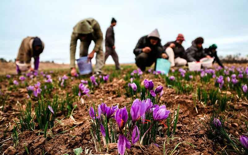 قیمت زعفران ۳۰۰ درصد گران شد/ صادرات ۴۰ درصد کاهش یافت