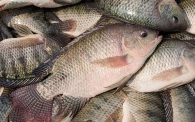 تولید داخلی ماهی تیلاپیا به منظور اشتغالزایی