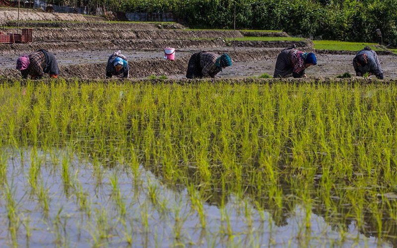 جهاد کشاورزی باید با کشت برنج در اصفهان برخورد کند