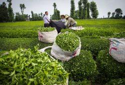 چای ایرانی+تجارت نیوز