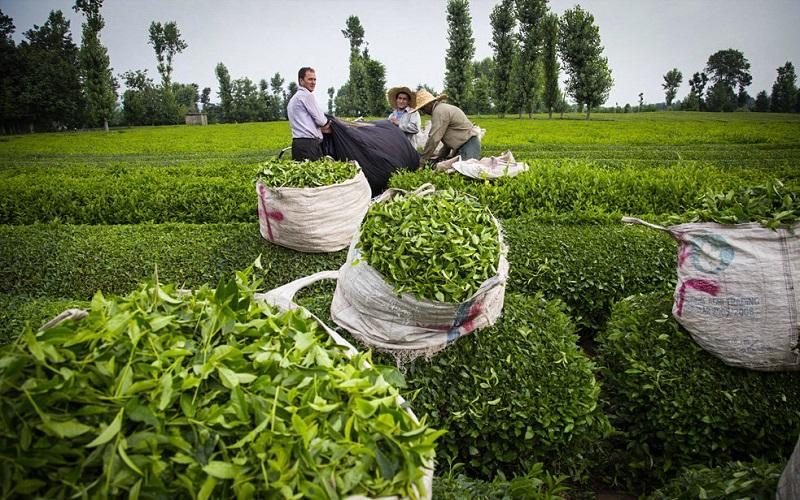 پایان برداشت بهاره برگ سبز چای تا پایان هفته