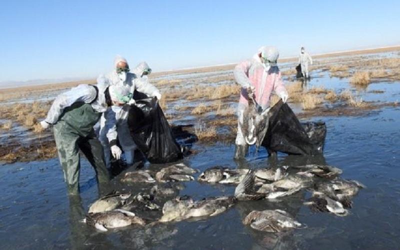 لاشه بیش از 2 هزار پرنده وحشی در گیلان دفن شد