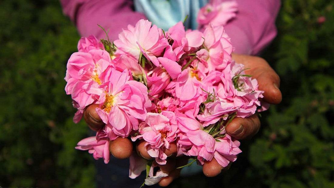 امیریه سالانه ۵ تن گلاب تولید میکند