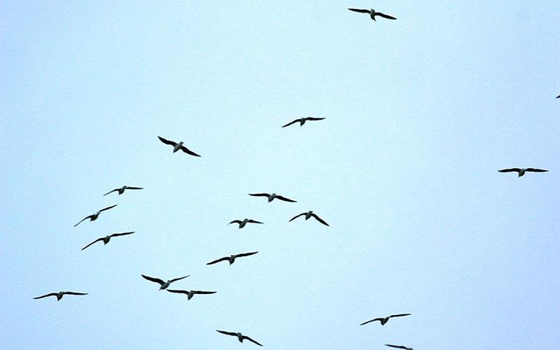 آنفولانزا پرندگان بهسرعت در حال پیشروی است