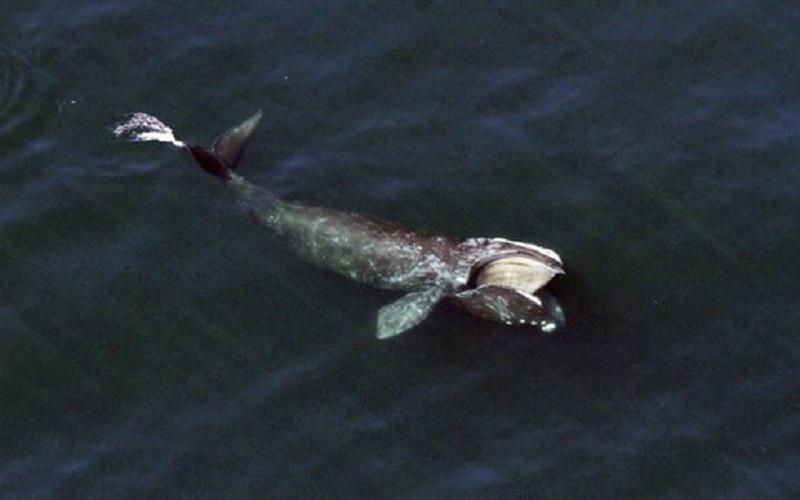 احتمال انقراض گونهای از نهنگهای اقیانوس اطلس شمالی