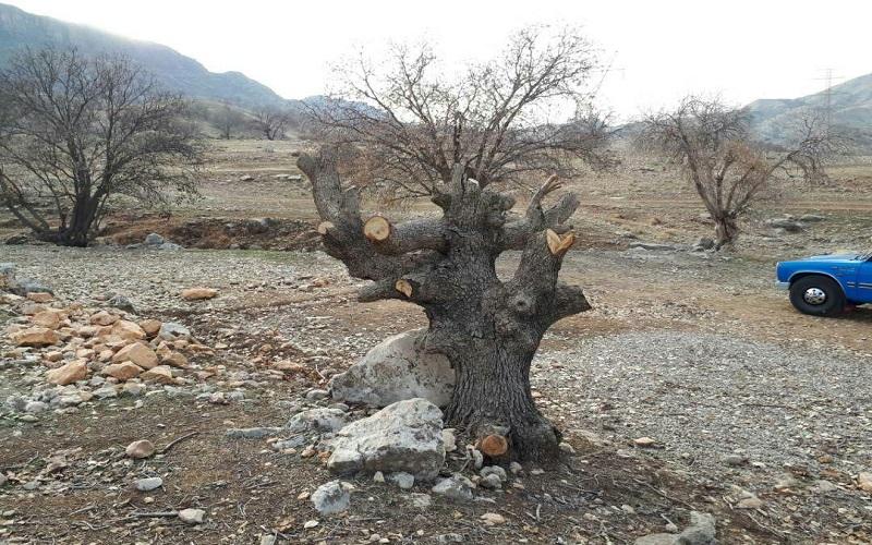 سه متخلف قطع درختان جنگلی دستگیر شدند
