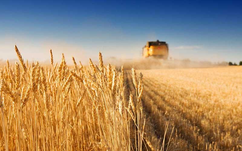 پیشبینی افزایش تولید گندم کشور با وجود سیل