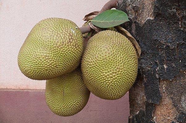 میوه ۴۵ کیلویی به قحطی پایان می دهد