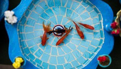 قیمت ماهی قرمز چند است؟ / آکواریومهای میلیونی و ماهیهای ریز ارزان