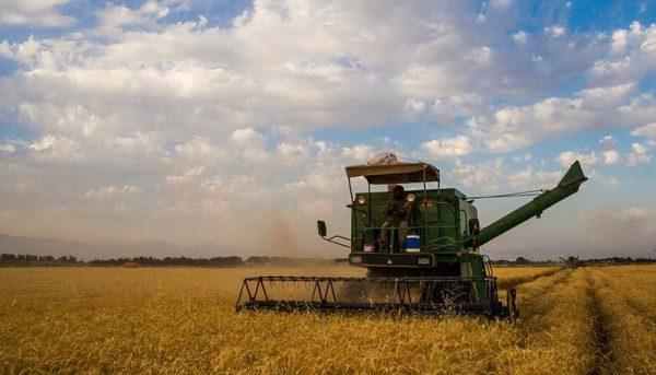 هدفگذاری تولید ۱۴ میلیون تنی گندم