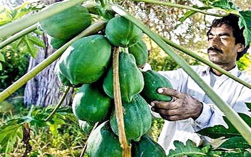 واردات کدام میوهها به کشور آزاد است؟