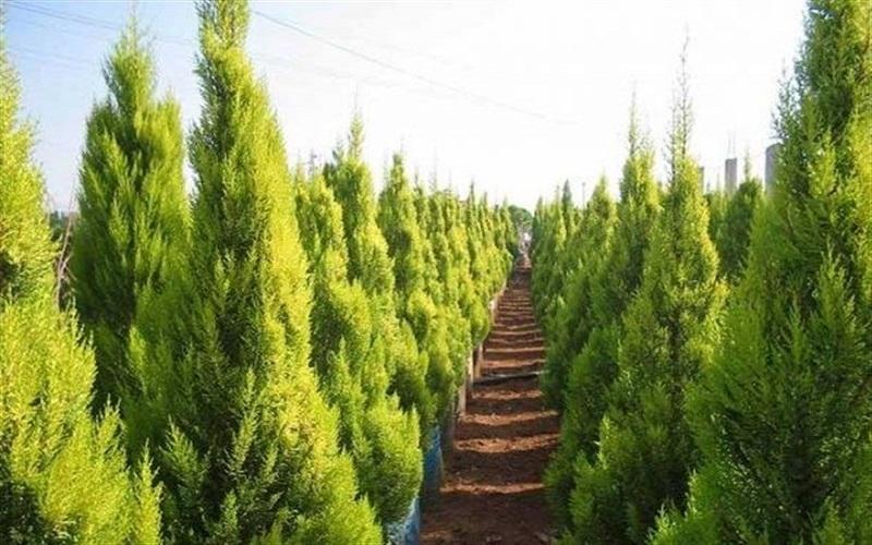 «درختان کاج» یکی از بزرگترین آلایندههای هوا هستند