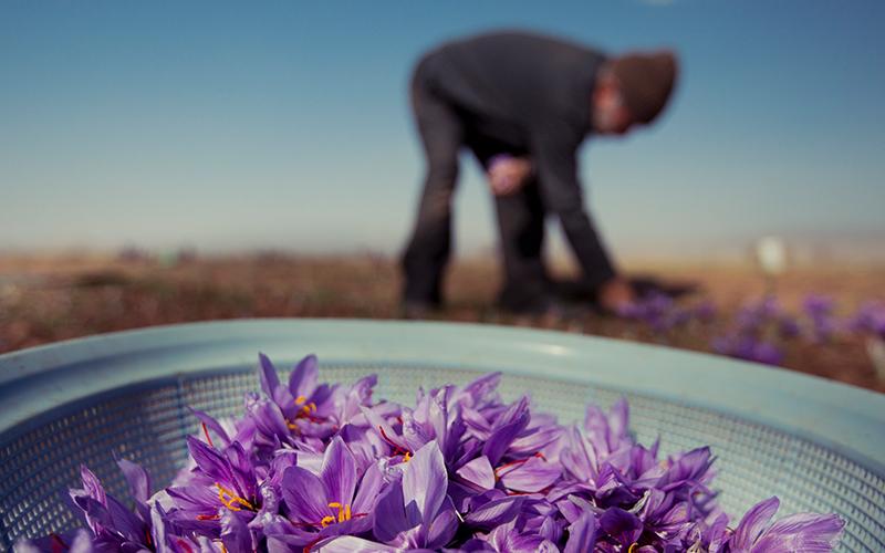 ۹۰ درصد زعفران جهان در ایران تولید میشود
