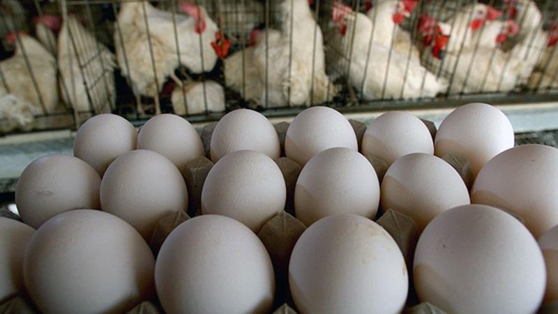 قیمت تخم مرغ ارزان شد / عراق و افغانستان دیگر از ایران تخم مرغ نمیخرند