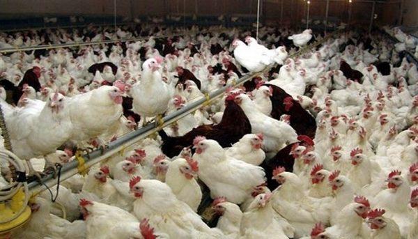 افزایش نرخ مرغ در بازار