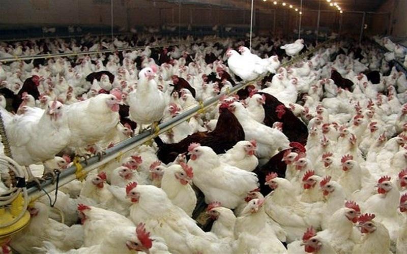 قیمت مرغ تا 8500 افزایش مییابد