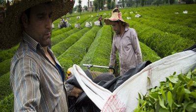 پایان خرید برگ سبز از چایکاران