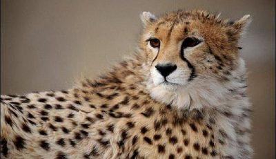 یوزپلنگ ایرانی در پژوهشکده رویان شبیهسازی شد