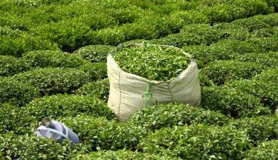 تمامی باغهای چای تحت پوشش بیمه فراگیر هستند