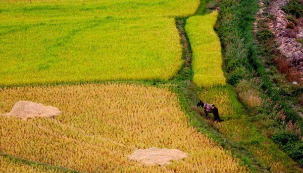 تغییرات اقلیمی عامل افزایش آفات کشاورزی است