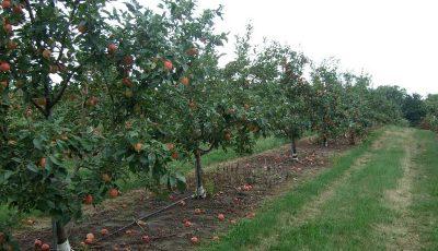 بارشهای اخیر به کدام میوهها آسیب رساند؟